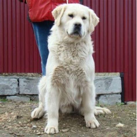 golden retriever breeders in ga yates farms golden retriever breeder in ringgold 30736 freedoglistings