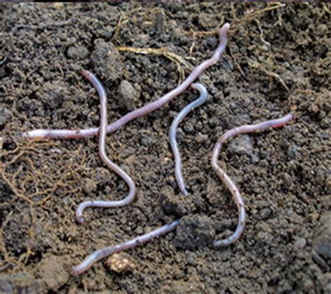 garden soil pests soil dwelling pests beneficial insects organic