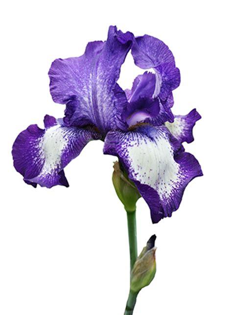 Kotak Akrilik Bunga Mawar Ungu Purple Preserved Flower grower direct flower information fillers and other flowers