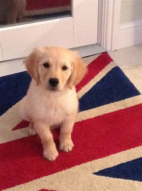 golden retriever puppies for sale in bc golden retriever puppy for sale melton mowbray