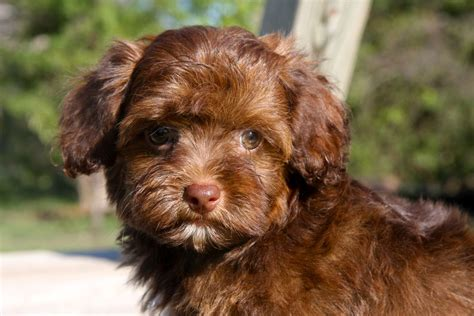 yorkie p the gallery for gt chocolate yorkie poo