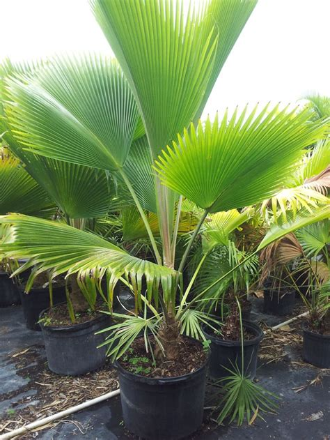 planting fan palm trees rare island tropical foliage homestead fiji fan palm
