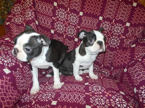 free boston terrier puppies boston terrier for sale dogs puppies for sale with free breeds picture