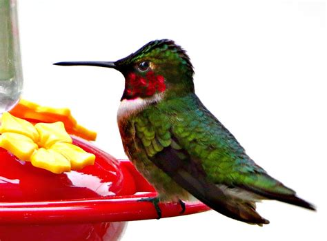 panoramio photo of ruby throated hummingbird the only