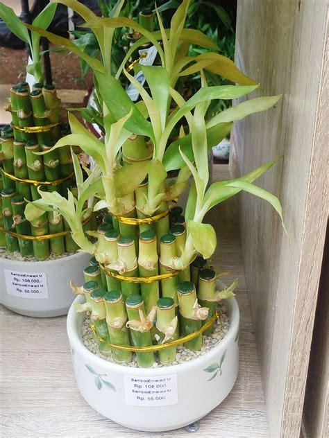 Bibit Bambu Rejeki aneka model liukan batang bambu rejeki bebeja