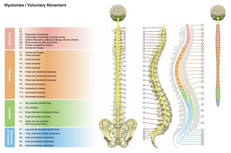 spine c4 c5 diagram incomplete versus complete sci what am i spinalhub