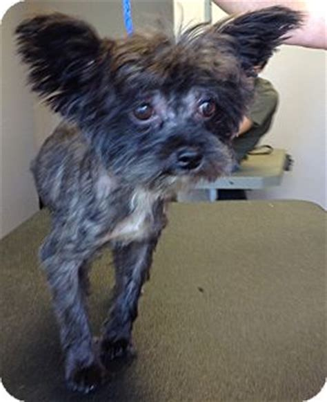yorkie poodle rescue pet not found