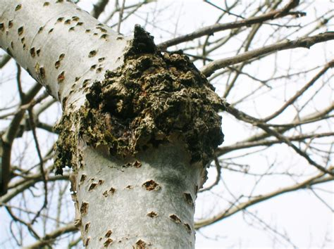 canker tree disease prevention and control