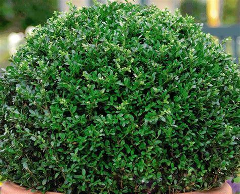 Ilex crenata 'Dark Green'   9cm Pot £4.99