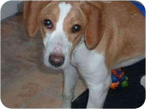 beagle puppies oregon adopted puppy oregon oh beagle fox