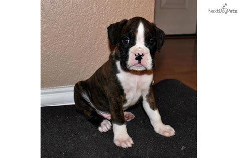 boxer puppies dallas boxer puppy for sale near dallas fort worth 72ce556a 2a31