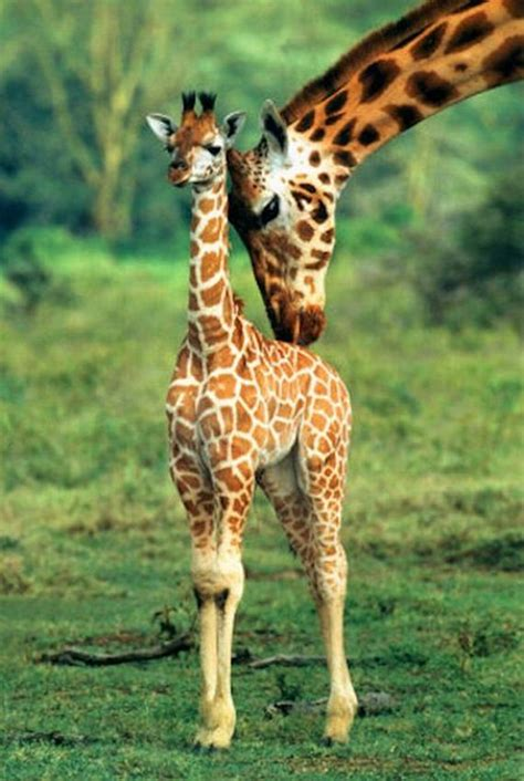 imagenes jirafas tiernas jirafas tiernas beb 233 imagui