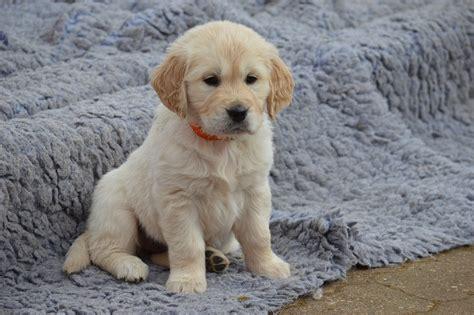 perros golden retriever gratis foto gratis perro golden retriever cachorro imagen gratis en pixabay 2491056