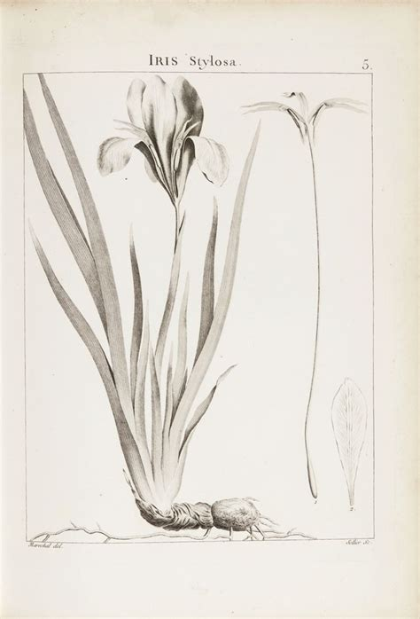 P Sigal Sketches by 159 Best Images About Flowers Drawing Of Iris On