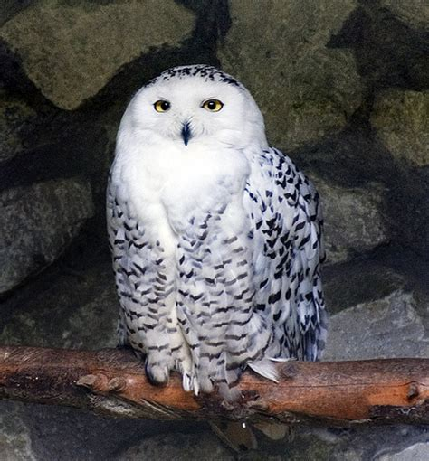 adult snowy owl flickr photo sharing