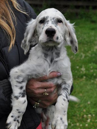 female english setter dog names best 25 english setter puppies ideas on pinterest