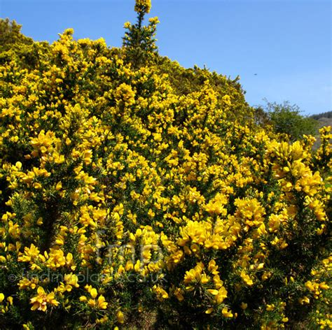 small shrubs with flowers plant pictures ulex europaeus european gorse ulex