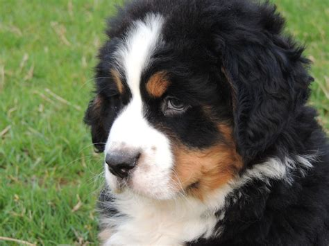 mountain puppies puppies bernese mountain www imgkid the image kid has it