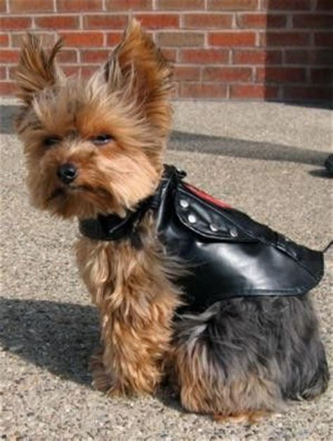 yorkie on motorcycle 1000 images about yorkies on yorkie terrier and teacup yorkie