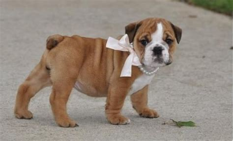 puppies for adoption hawaii mini bulldogs for adoption breeds picture