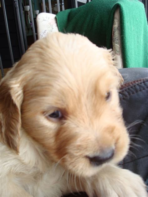 chickasaw golden retrievers golden puppies 2 9 13 quot indian litter quot lentigo kennels