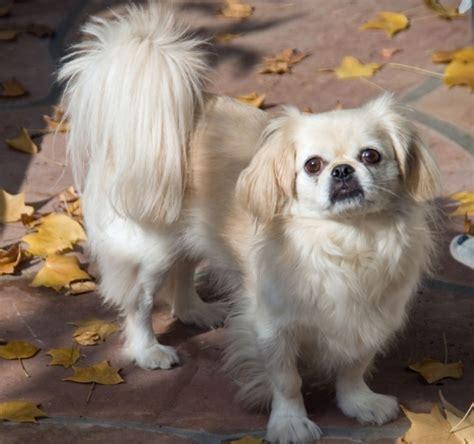 best indoor dogs pekingese 15 best small breeds for indoor pets