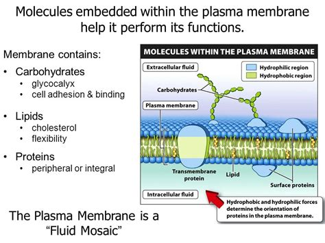 carbohydrates of the plasma membrane cell membranes are gatekeepers ppt