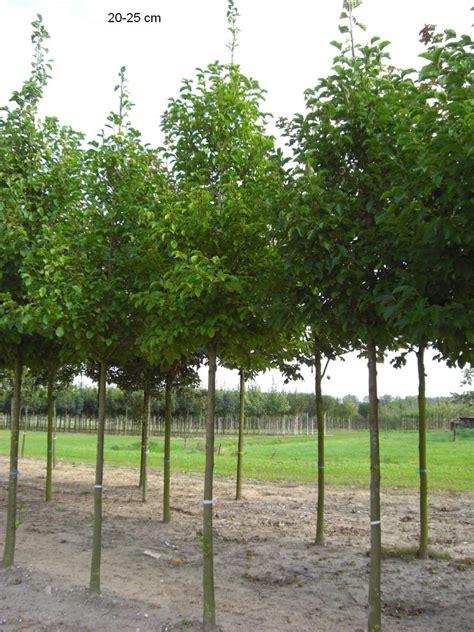 laminatfußböden in der küche baummagnolie magnolia kobus mr pflanzenvertrieb der