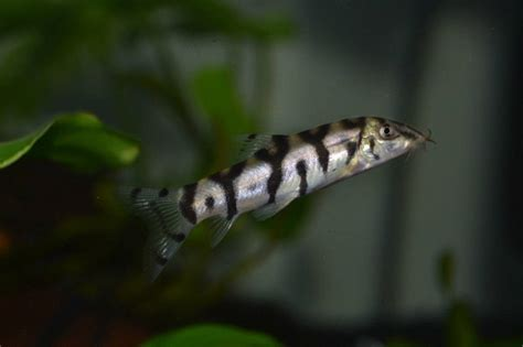 yoyo loach care size lifespan tankmates breeding