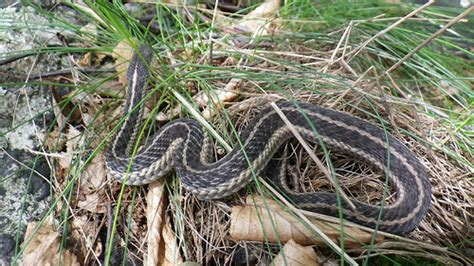 Garden Snake Ny Garter Snake Ny Flickr Photo
