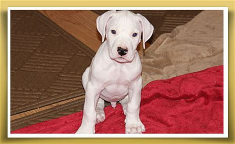 dogo argentino puppies for sale 2016 dogo argentino puppies for sale dogos
