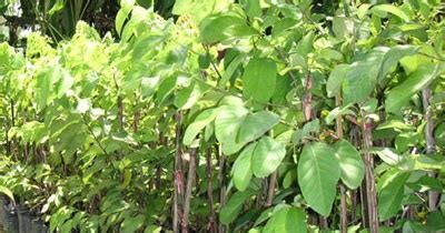 Bibit Srikaya Unggul jual bibit unggul srikaya jumbo jual tanaman hias