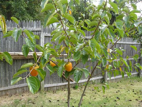 maryland fruit trees my hachiya persimmon tree had the similar problem only 3