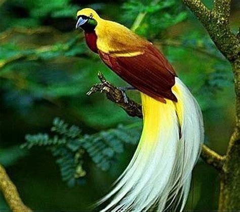birds of paradise   colorful prancer dancers animal
