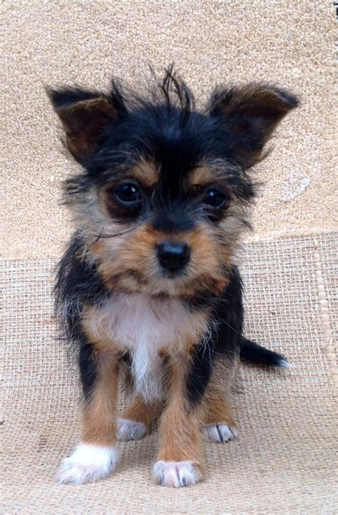 yorkie cross puppies for sale yorkie cross puppy for sale welshpool powys pets4homes