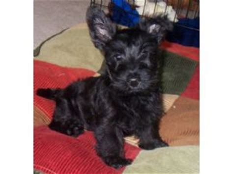 scottish terrier puppies for sale ohio scottish terrier puppies in ohio