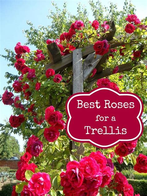 tips on planting quot climbing roses quot on a rose trellis my how to grow roses on balcony patio and terrace roses