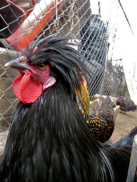 identify devil  horned rooster