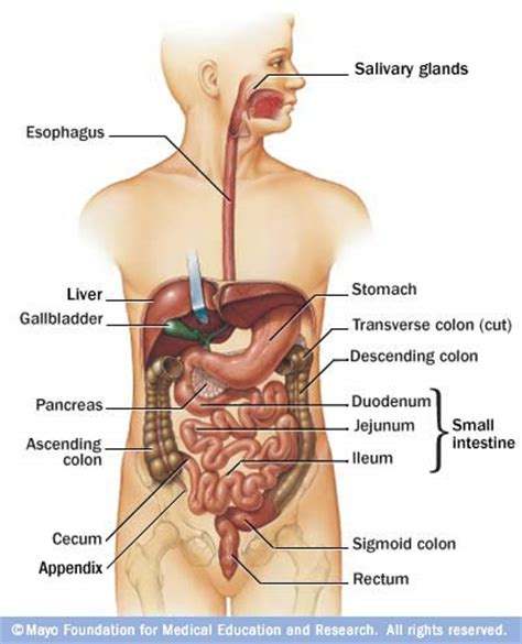 where is my located diagram diagram of the location liver diagram free engine image