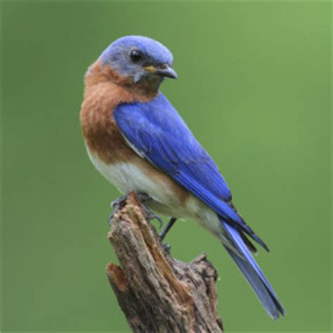 Texas Barn Owls Bluebird Biology How To Attract Bluebirds Barn Owl Box