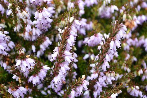 erica fiori decorare casa con i fiori indoor e outdoor sgaravatti eu