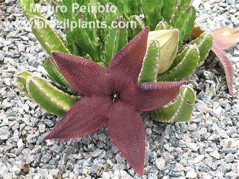 Easy Plants Stapelia Hirsuta