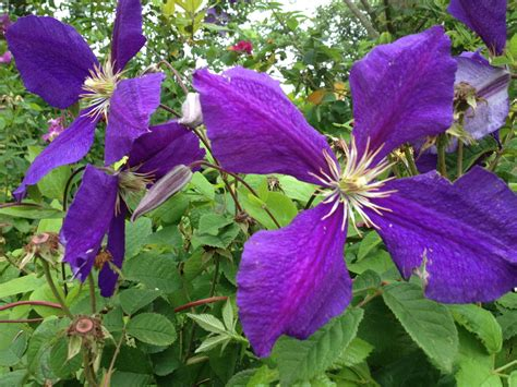 plant with purple flowers what is this plant with big purple flowers snaplant com
