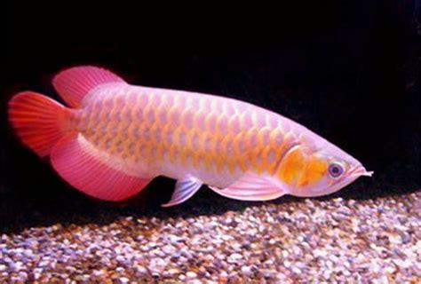 the blue water arowana the royal aquarium fish