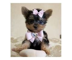 yorkie puppies for sale in fargo nd and affectionate and t cup yorkie puppies available animals fargo