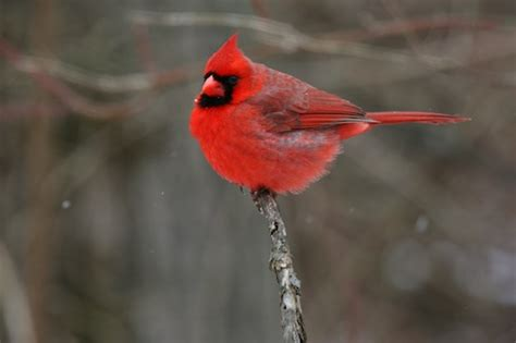 10 interesting facts about northern cardinals backyard