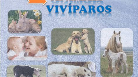 imagenes de animales oviparos viviparos y ovoviviparos animais ov 205 paros viv 205 paros e ovoviv 205 paros youtube