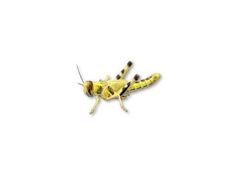 small images live locusts small medium mega tub 100 reptile livefood livefood uk ltd
