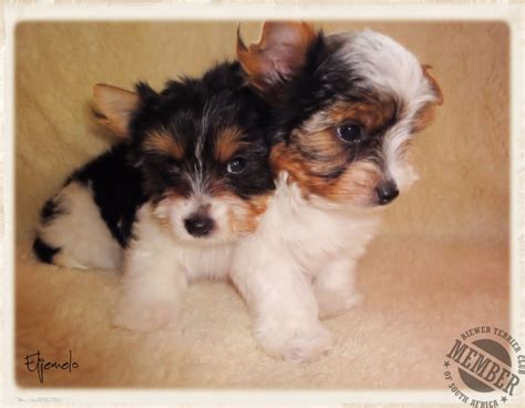 yorkies for sale cape town biewer terrier breeders biewer a la pom pon biewer puppies for sale terriers