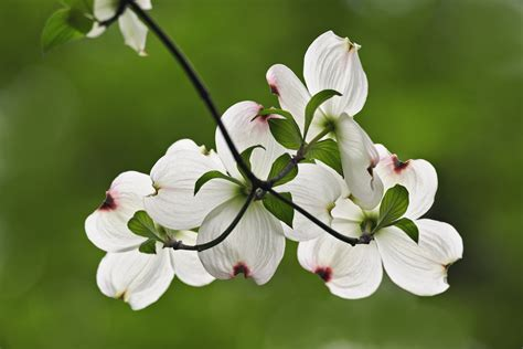 state flower of virginia flowering dogwood blossoms virginia pictures virginia
